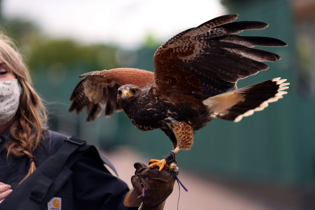 Hamish the hawk at Wimbledon